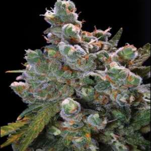 ak-47-feminized-marijuana