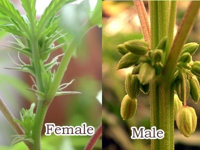 male-versus-female-cannabis