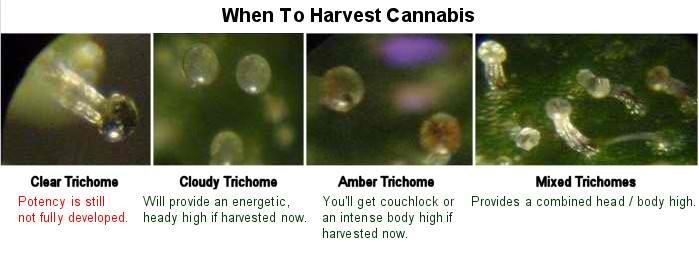 when-to-harvest-marijuana