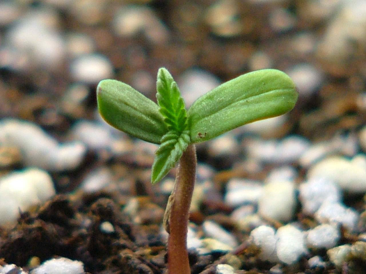 When to Transplant Cannabis Seedlings - Marijuana Seeds Center