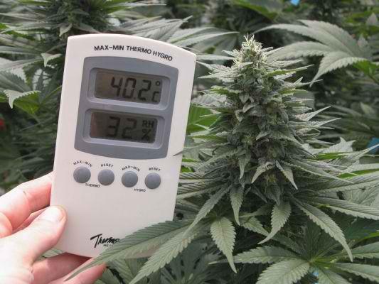 Температуре выращивание конопли при конопля заплесневевшая