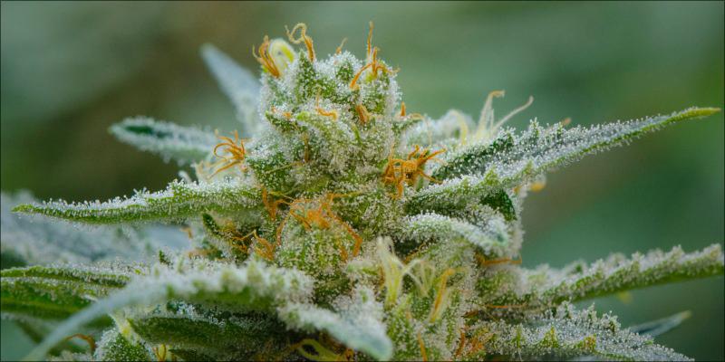 Is Chronic Indica or Sativa? - Marijuana Seeds Center