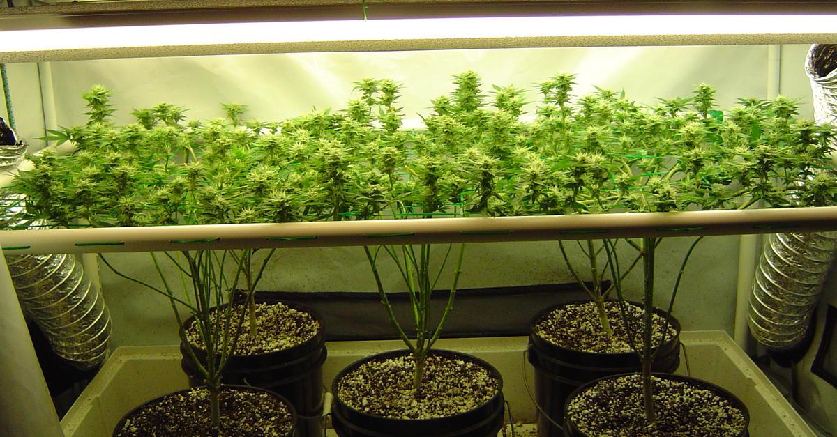 scrog-time-lapse-video1 - Marijuana Seeds Center