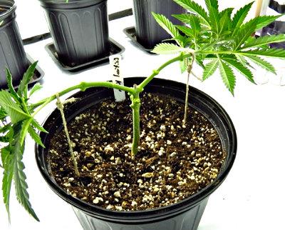 How to Top Autoflower Cannabis Plants - Marijuana Seeds Center